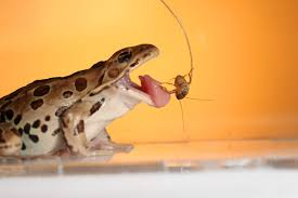 Hungry Northern Leopard Frog