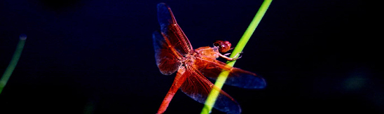 Silly Scientists want to know…What do dragonflies eat?